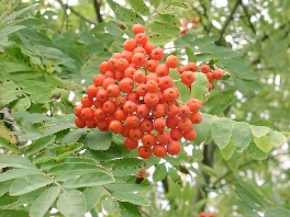 Most People Believe That Rowan Berries Are Poisonous Is Good For Those Who Know Cooked Not And Marmelade Made